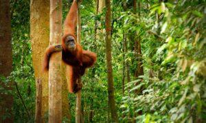 palmolie orang oetans