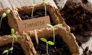 tomaten kweken moestuin