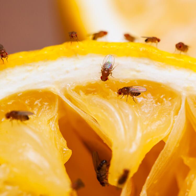 fruitvliegjes bestrijden natuurlijk