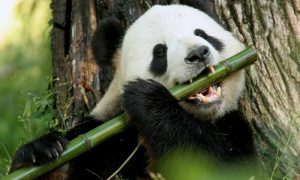 waarom is bamboe duurzaam panda